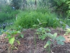 View of the raised bed..pepers..carrots and overgrown ruccola...