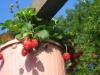 High rise strawberies