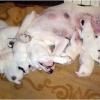 puppies-in-barga-007.jpg