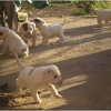 puppies-in-barga-008.jpg